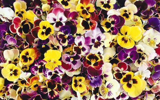 در فصل سرد چه گل و گیاهانی بکاریم و بخریم؟