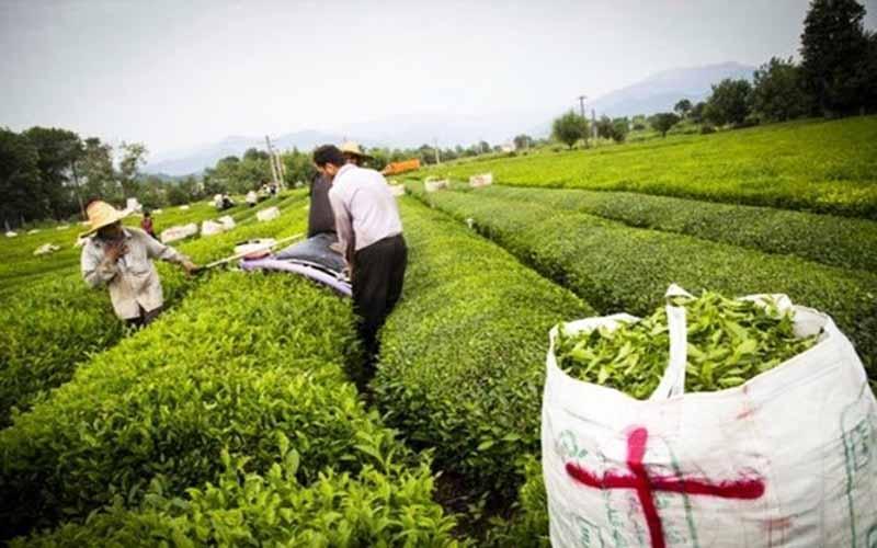 ابهام در تامین 100 درصدی احتیاج چای کشور از فراوری داخل