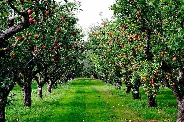 از بین بردن نوعی آفت درختان سیب و گلابی با ترکیب 3 گیاه بومی